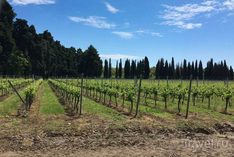 Растет виноград для абхазского вина  / Россия