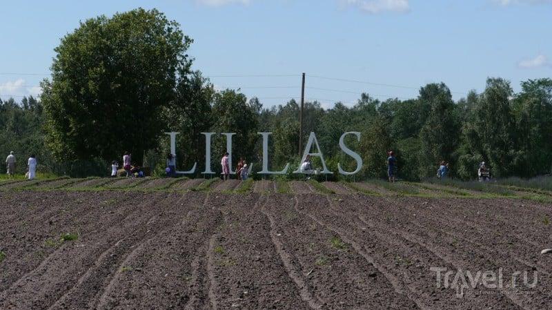 Праздник лаванды в Латвии / Латвия