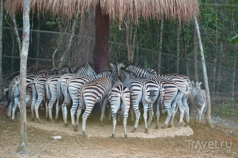 Зебры за обедом