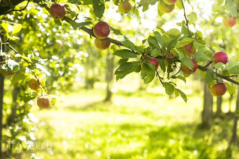 Альтес Ланд, Йорк. Фруктовые сады Нижней Саксонии / Германия