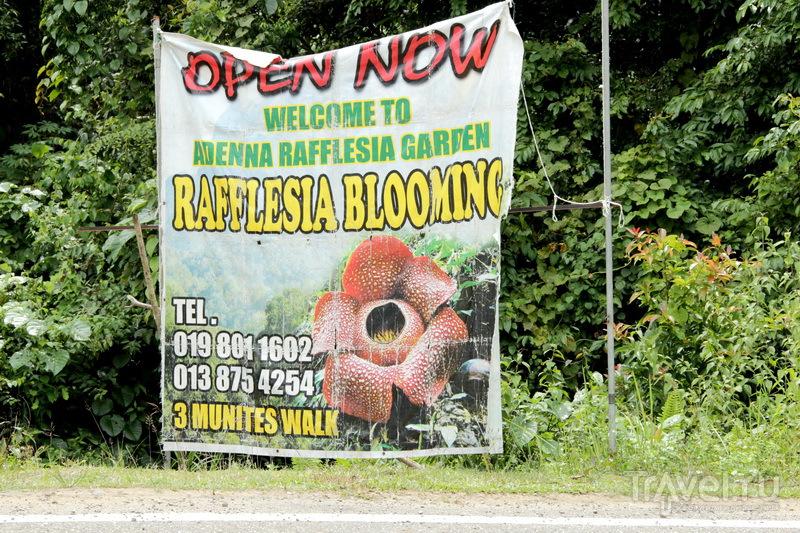 Поклонение раффлезии, ужин с носатыми обезьянами и прием у Губернатора Борнео / Малайзия