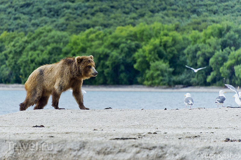 Камчатка. Медведи Курильского озера / Фото из России