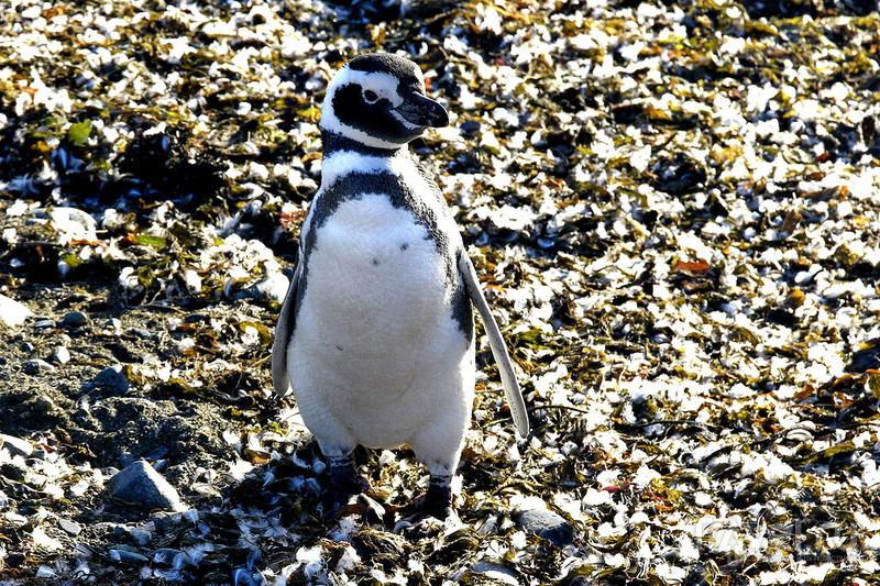 Магелланские пингвины и приключение на острове Магдалены! / Фото из Антарктики