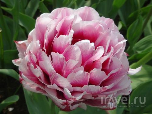 Keukenkof - цветочный рай  Кекенхоф / Нидерланды