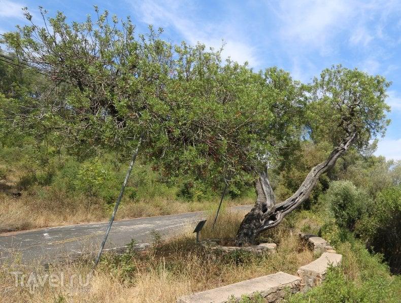 Монументальные деревья Каталонии / Испания