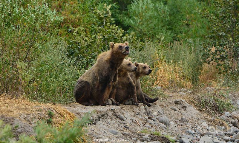 Медведи! Медведи! Медведи! / Фото из России