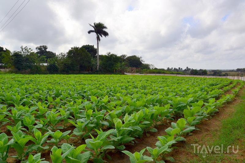 Засеянное табаком поле на ферме