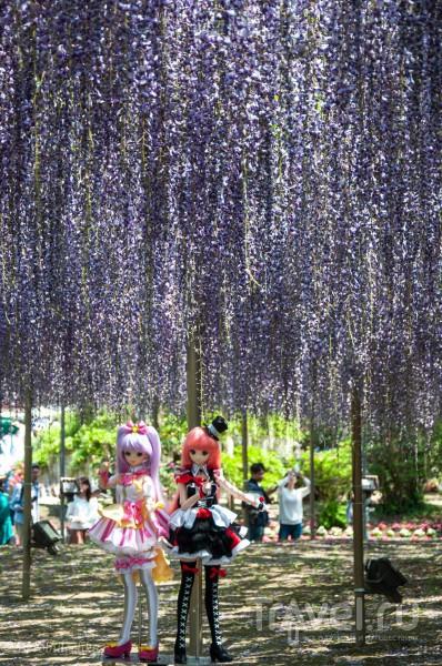 Глициния в Японии / Япония