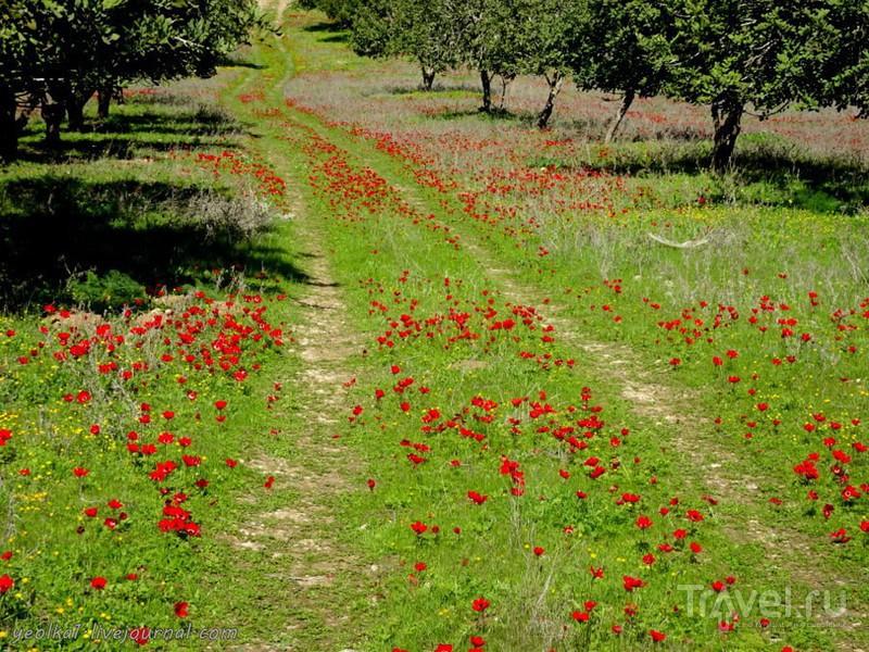 Незнакомый Израиль. Цветение, февраль. Даром адом (Красный юг) / Фото из Израиля
