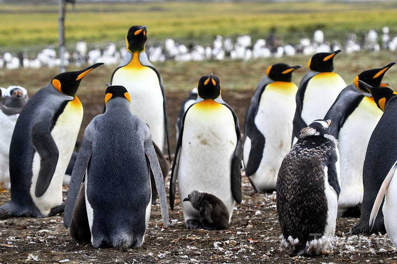 Королевские и Папуанские пингвины! / Фото из Великобритании