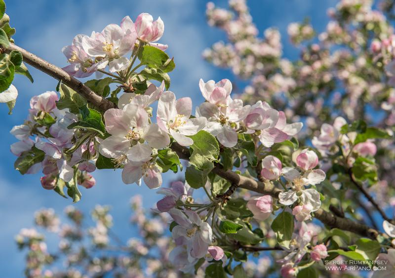 Цветение яблоневых садов / Фото из России