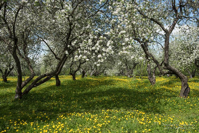 Цветение яблоневых садов в Коломенском / Фото из России