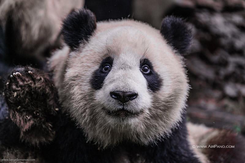 Заповедник изучения и разведения больших панд в Чэнду, Китай / Фото из Китая