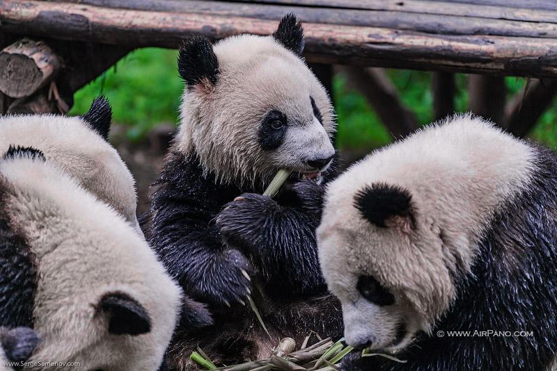 Заповедник изучения и разведения больших панд в Чэнду / Фото из Китая
