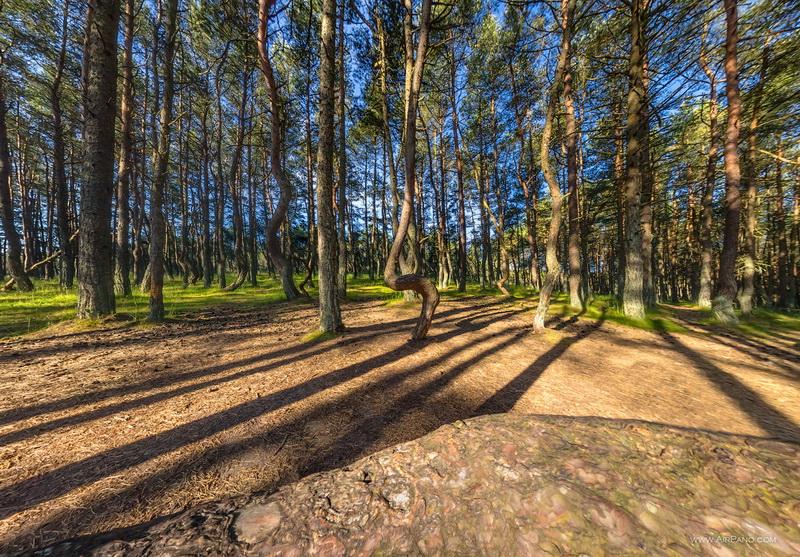 Танцующий лес / Фото из Литвы