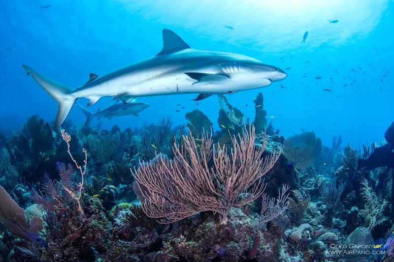 Дайвинг с акулами / Фото с Кубы