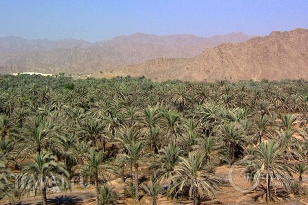 Пальмовые поля Фуджейры, ОАЭ / Фото из ОАЭ